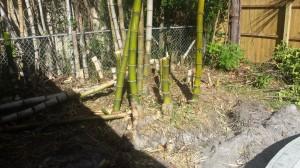 Cutting bamboo down